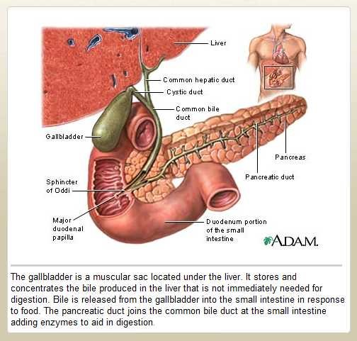 Gallbladder Anatomy 2