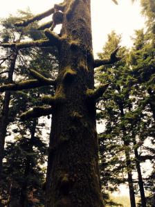 chanda tree